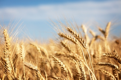 is whole wheat good for you