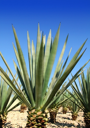 Is agave nectar good for you?