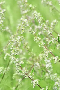Wormwood plant