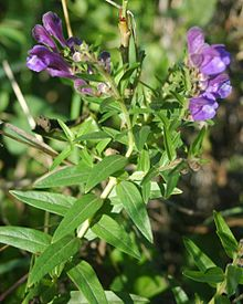220px-Scutellaria_baicalensis_flowers