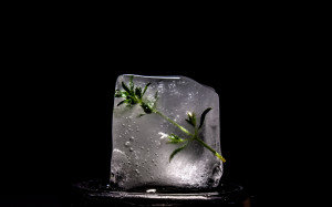 Ice cude with frozen mint