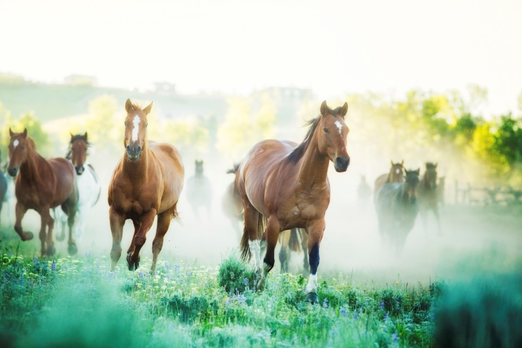 Horses running to pastures on a foggy morning.