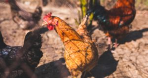 Rooster and chickens standing on dirt