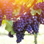 Red grapes on the vine. Vine grape fruit plants outdoors by sunset