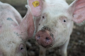 Pigs standing in dirt with a dirty snout