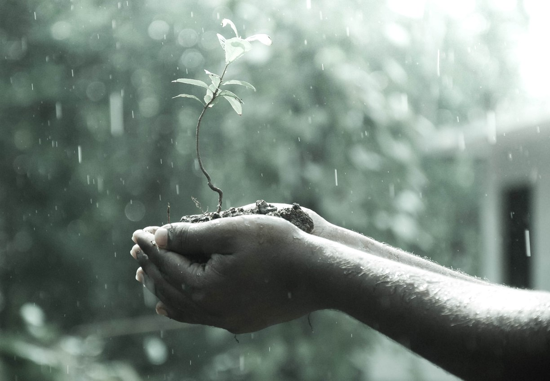 A man's hands cradling a sapling in the rain