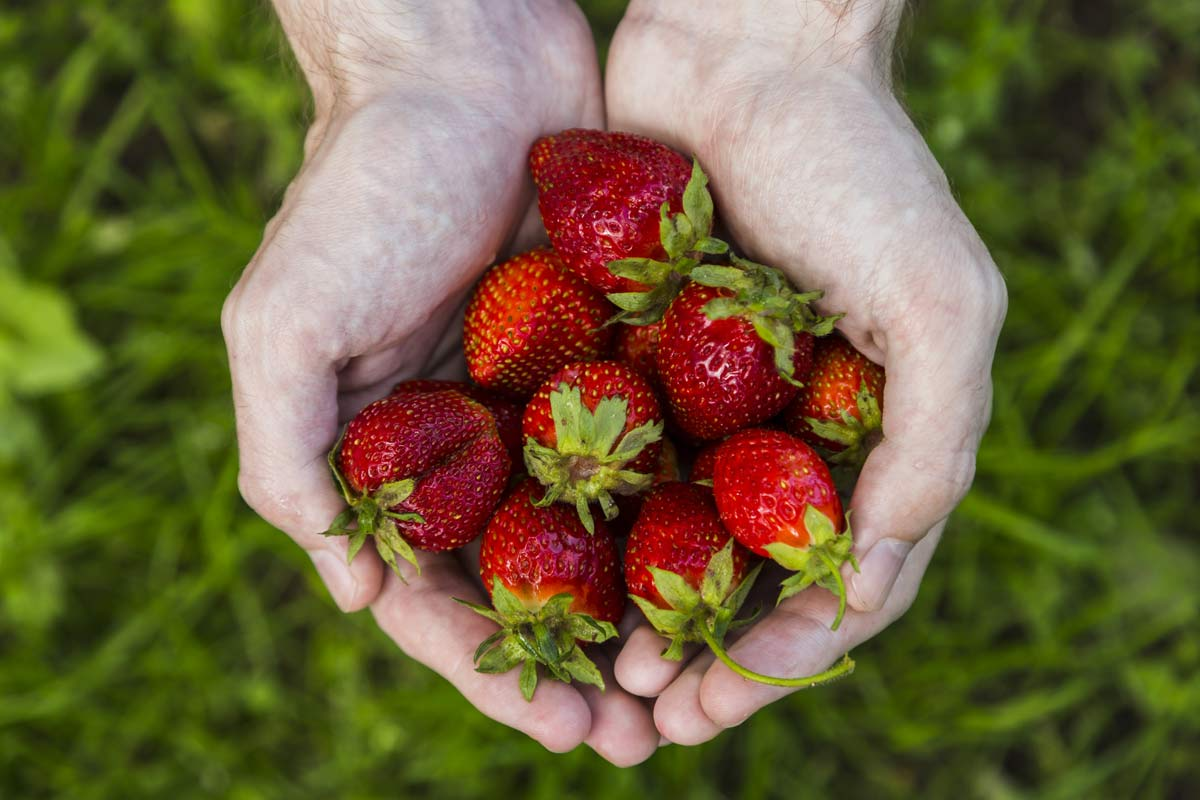 cupped hands holding strawberries