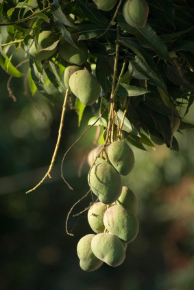 exotic fruit helps shed fat