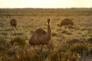 emu oil benefits