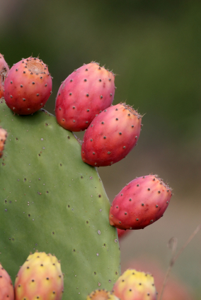 prickly pear cactus juice