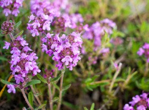 thyme for acne