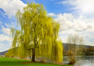 willow bark benefits