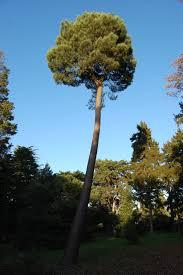 Pinus pinaster tree