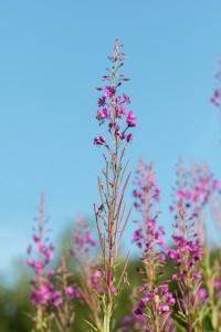 willow-herb, Chamaenerion angustifolium, Epilobium angustifolium, Rosebay Willowherb