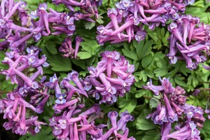 Corydalis flowers