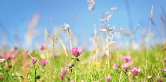 Field of red clover