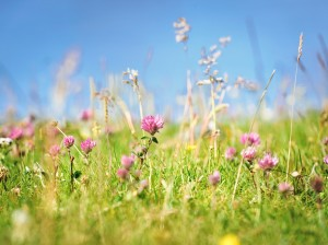 close-up of red clover field