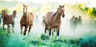 Horses running to pastures on a foggy morning. Photographed on a Montana ranch.