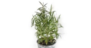 rosemary plant potted in a tin bucket on a white background
