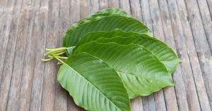 fan of kramtom leaves on a wooden surface