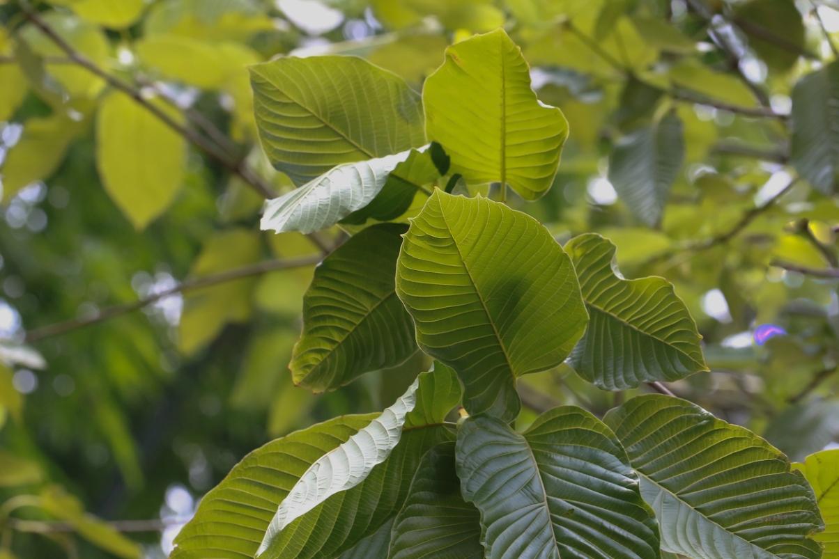 leaves of Kramtom tree