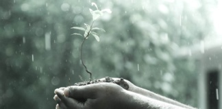 A man's hands cradling a sapling in the rain