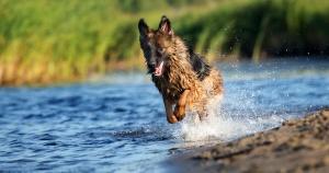 german shepherd running in water