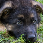 german shepherd puppy laying in grass