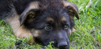 german shepherd puppy laying in grass