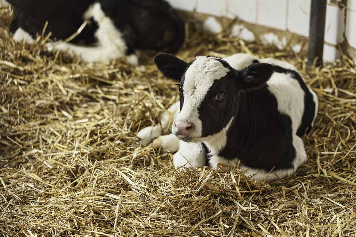 calf laying down in hay