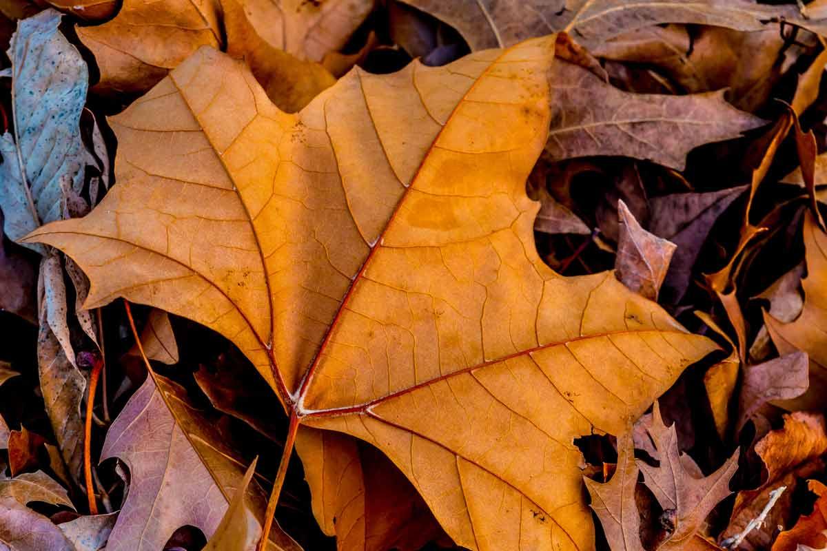 closeup-maple-leaf_medium