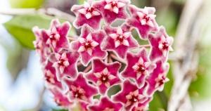 red-hoya-flowers_facebook